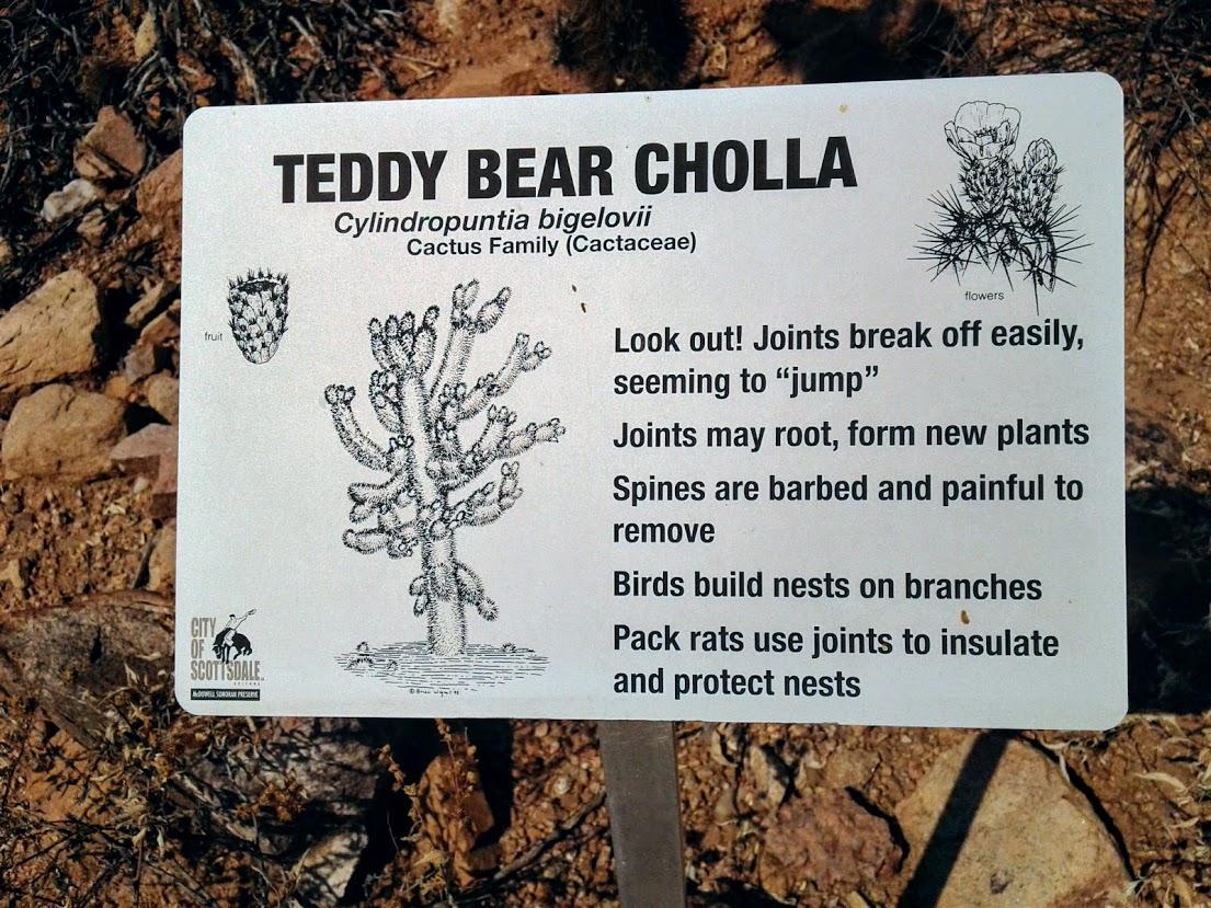 Teddy bear cholla interpretive sign