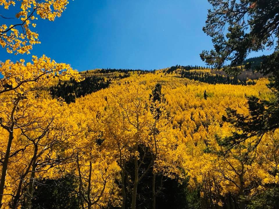 Image of golden colored aspen trees on hillside