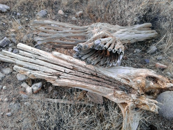 Woody skeletal remains of a Saguaro cactus
