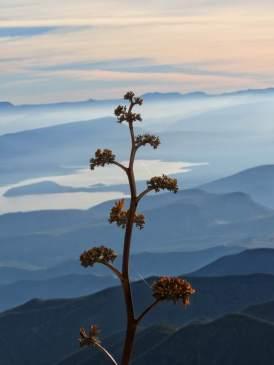 Yucca plant flower stalk