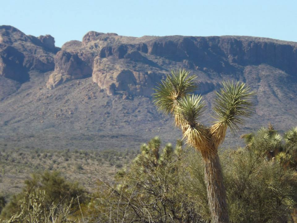 Joshua tree with mountain in background
