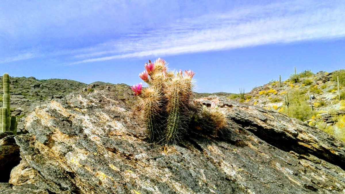 Hedgehog cactus defies laws of nature by growing out of a rock