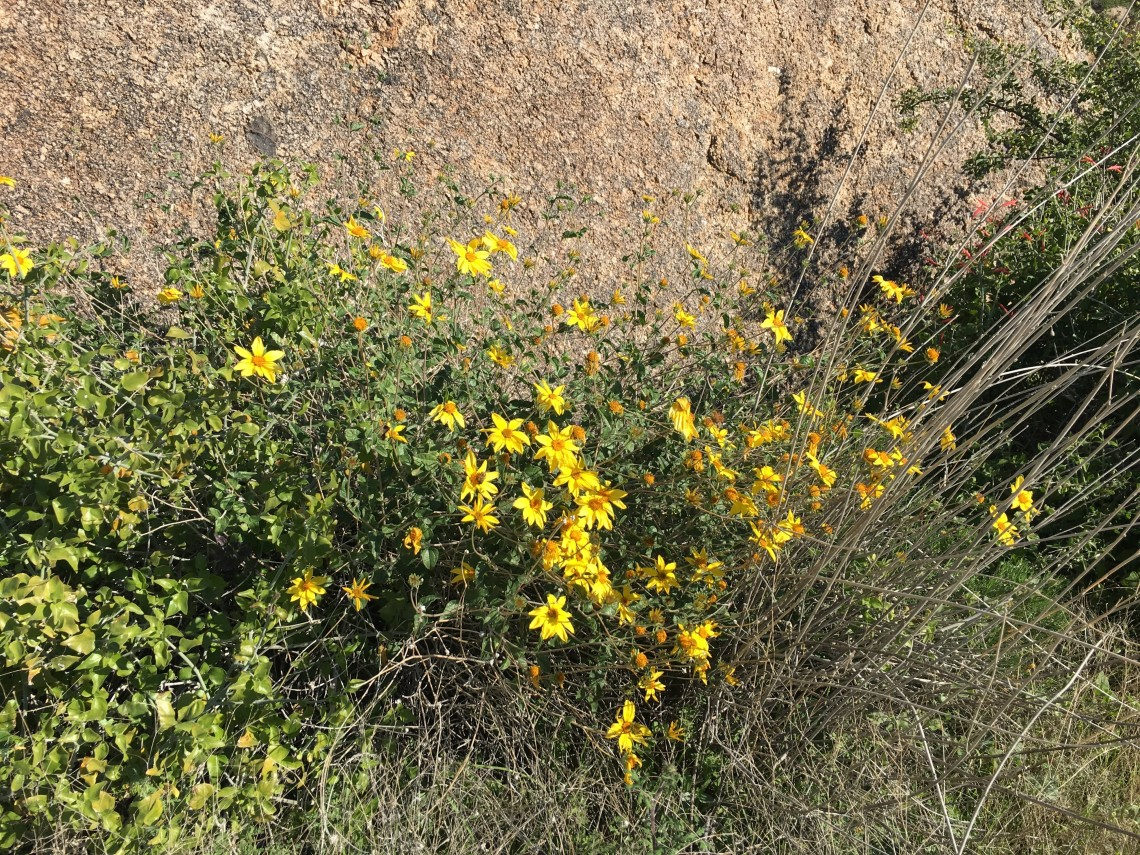 Yellow flowers bloom on a bush